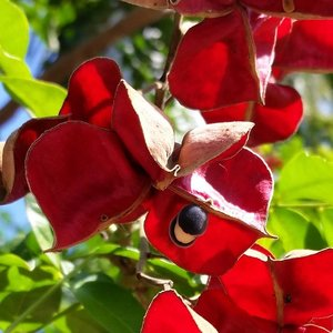 Zwarte parelboom (Majidea zanguebarica)