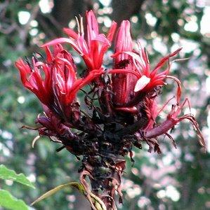 Gymealelie (Doryanthes excelsa)