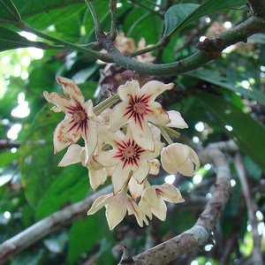 Colaboom (Cola acuminata)