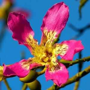 Zijdeboom (Ceiba speciosa)
