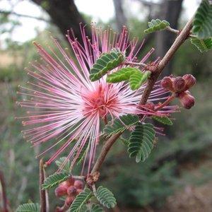 Feeëndoek (Calliandra eriophylla)
