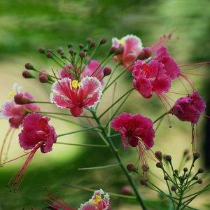 Roze pauwenbloem (Caesalpinia pulcherrima 'Rosea')