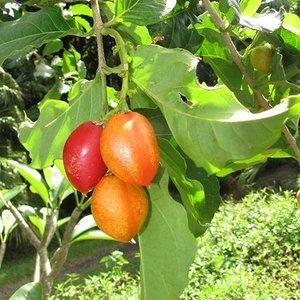 Pindakaasboom (Bunchosia argentea)