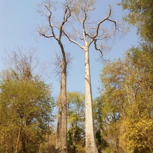 Madagaskarbaobab (Adansonia madagascariensis)