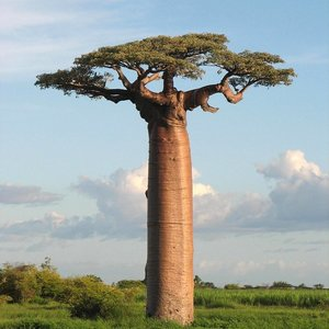 Reuzenbaobab (Adansonia grandidieri)