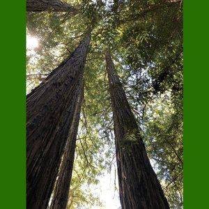 Kustmammoetboom (Sequoia sempervirens)