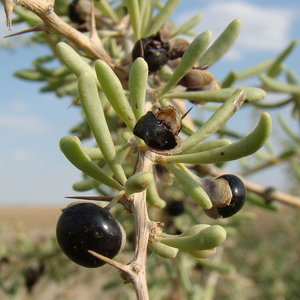Zwarte gojibes (Lycium ruthenicum)